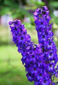 purple delphiniums